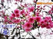 台湾の桜 時期と種類 お花見スポット@台北の桜の画像も!